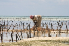 Seaweed-plantage